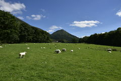 Landscapes sheep Royalty Free Stock Images