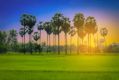 Landscapes of silhouette sugar palm trees Royalty Free Stock Photos