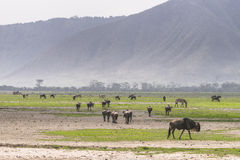 Landscapes with The Wildebeests and Zebras Royalty Free Stock Photography