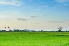 Landscapesikten av toddyen gömma i handflatan och risfältet med skugga från solen Arkivbild