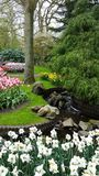 Landscaping around a stream with tulips and narcissus Stock Photos