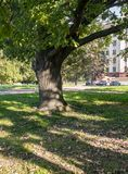 Forked trunk of an old oak in the yard of Moscow State University, Russia. Stock Photo