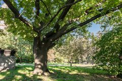 Forked trunk of an old oak in the yard of Moscow State University, Russia. Royalty Free Stock Photography