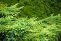 Landscaping, thuja fence, thuja tree branches closeup, background with copyspace stock photography