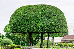 Landscaping trimmed trees in public park Stock Photos