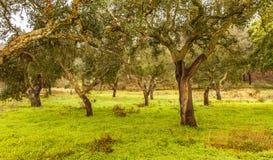 Landschaft Cork Trees-natürlicher Ressourcen in Portugal Stockbild