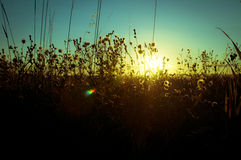 Landschaft der Hafer und der wilden Blumen während des Sonnenuntergangs lizenzfreies stockbild