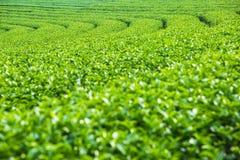 Landschaft der Plantage des grünen Tees, Grün lässt Hintergrundbeschaffenheit Lizenzfreies Stockbild