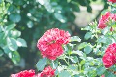 Landschaft der Rotrosen-Blume im Freien Lizenzfreies Stockfoto