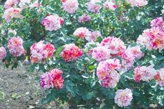 Landschaft der Rotrosen-Blume im Freien Lizenzfreie Stockbilder
