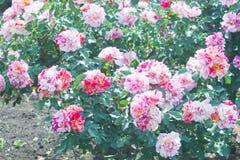Landschaft der Rotrosen-Blume im Freien Stockfotografie