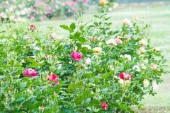 Landschaft der Rotrosen-Blume im Freien Stockbilder