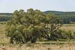 Landschaft der Sommernatur mit grüner Lichtung, Blume, Wald und großem Baum der Silberweide oder des Salix alba, Berg Sredna Gora stockfoto