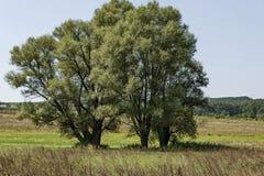 Landschaft der Sommernatur mit grüner Lichtung, Blume, Wald und großem Baum der Silberweide oder des Salix alba, Berg Sredna Gora stockbilder