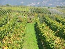 Landschaft der Weinberge des Trentino Alto Adige in Italien Der Weinweg Lizenzfreie Stockfotos