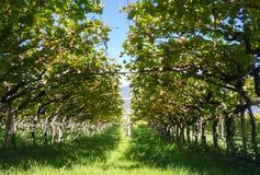 Landschaft der Weinberge des Trentino Alto Adige in Italien Der Weinweg Stockbilder