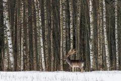 Landschaft der Winter-wild lebenden Tiere mit erwachsenem Damhirsch, der auf dem Schnee gegen den Hintergrund eines Birken-Waldes stockbilder