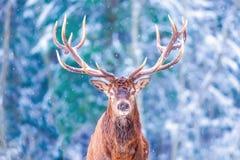 Landschaft der Winterwild lebenden tiere mit edlem Rotwild Cervus Elaphus Rotwild mit großen Hörnern mit Schnee auf dem Vordergru stockbild