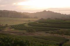 Landschaft des Bauernhofes des grünen Tees morgens Lizenzfreies Stockfoto