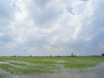 Landschaft des blauen Himmels des grünen Grases des Reisfeldes Stockfoto