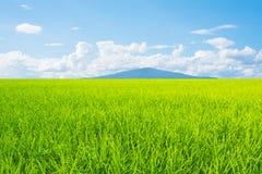 Landschaft des blauen Himmels des grünen Grases des Reisfeldes Stockbilder