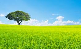Landschaft des blauen Himmels des grünen Grases des Reisfeldes Stockfotos