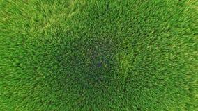 Landschaft des grünen Reisbauernhoffeldes und -bahn in Thailand; 4K 30fps, von der Luftdraufsicht 90 Grad stock footage