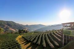 Landschaft des Oolong-Teebauernhofes in Thailand Stockbild