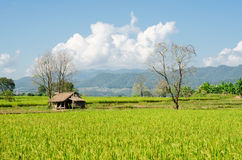 Landschaft des Reisfeldes, Landwirtschaft in Thailand Lizenzfreie Stockbilder