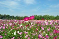 Landschaft des rosa Kosmos-Gartens Lizenzfreies Stockfoto