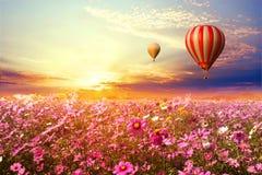 Landschaft des schönen Kosmosblumenfeldes und Heißluft steigt auf Himmelsonnenuntergang im Ballon auf stockbilder