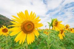 Landschaft des Sonnenblumenfelds mit bewölktem blauem Himmel und grünem Gebirgshintergrund Stockfoto