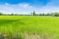 Landschaft des thailändischen Reisfeldes unter blauem Himmel Stockbilder