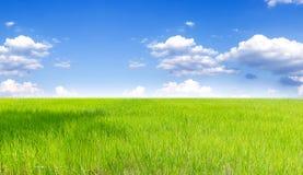 Landschaft des thailändischen Reisfeldes unter blauem Himmel Lizenzfreies Stockbild