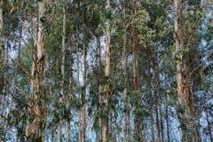 Landschaft einer Eukalyptusplantage in Galizien, Eukalyptuswald lizenzfreie stockfotografie