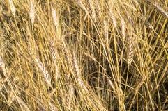 Landschaft einer schönen goldenen reifen Weizenernte Lizenzfreie Stockfotos
