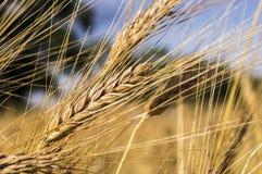 Landschaft einer schönen goldenen reifen Weizenernte Stockbilder