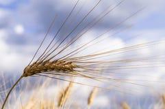 Landschaft einer schönen goldenen reifen Weizenernte Lizenzfreie Stockbilder