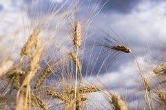 Landschaft einer schönen goldenen reifen Weizenernte Lizenzfreies Stockbild