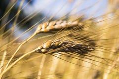 Landschaft einer schönen goldenen reifen Weizenernte Stockfotos