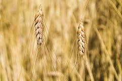 Landschaft einer schönen goldenen reifen Weizenernte Stockbild