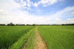 Landschaft eines ruhigen Reisfeldes auf Wolken und Himmelhintergrund Lizenzfreie Stockfotos