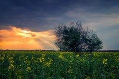 Landschaft geschossen von einem Canolaraps-Landwirtschaftsfeld mit den Sonnenstrahlen, die von den Wolken und von einem Baum im V stockbilder