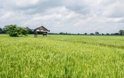 landschaft Hütte auf den Reisgebieten mit Jasminreis und -himmel lizenzfreie stockfotos