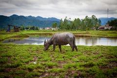 Landschaft, ländliche Gebiete, Büffel, der auf dem Feld, Vietnam weiden lässt Stockfotografie