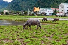 Landschaft, ländliche Gebiete, Büffel, der auf dem Feld, Vietnam weiden lässt Lizenzfreie Stockfotos