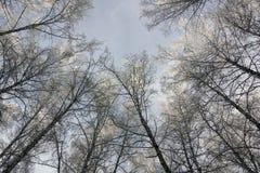Landschaft mit Birken Lizenzfreie Stockfotos