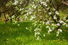 Landschaft mit blühendem Apple arbeiten im Frühjahr im Garten Lizenzfreie Stockfotos