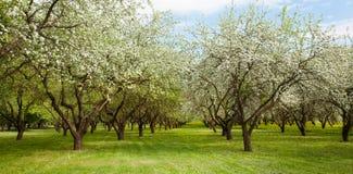 Landschaft mit blühendem Apple arbeiten im Frühjahr im Garten Lizenzfreies Stockfoto