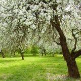 Landschaft mit blühendem Apple arbeiten im Frühjahr im Garten Stockfotografie